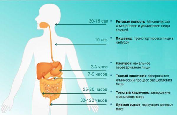 Процесс переваривания пищи