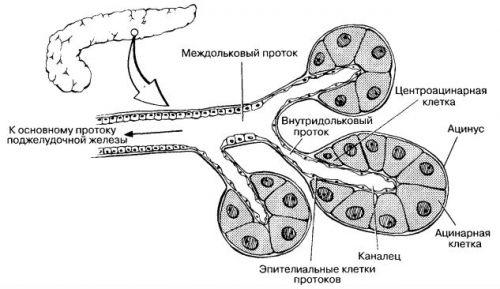 Строение экзокринной части поджелудочной