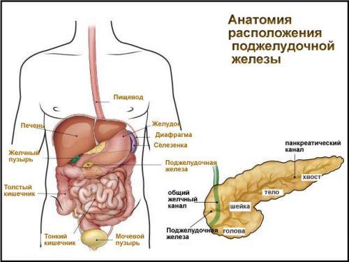Схема расположения поджелудочной железы