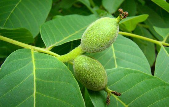 Зеленый грецкий орех